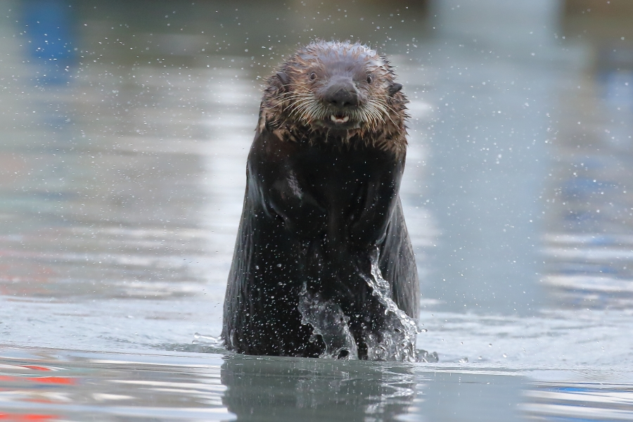 Sea otter hunting!