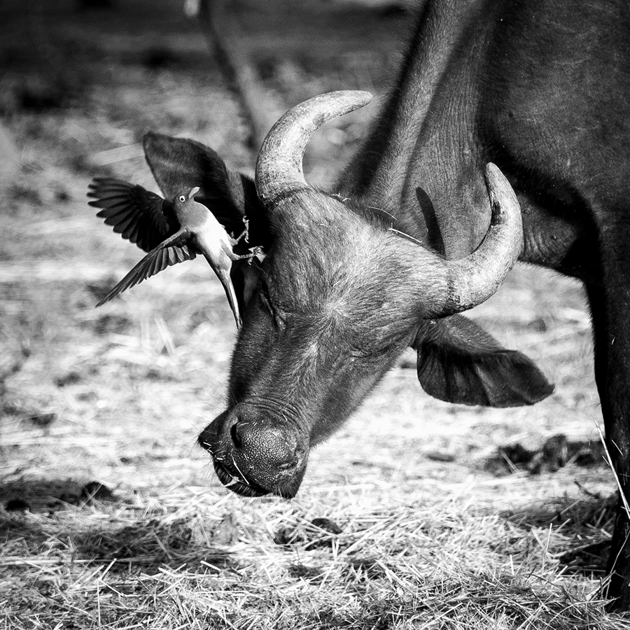 Oxpecker attacks Buffalo