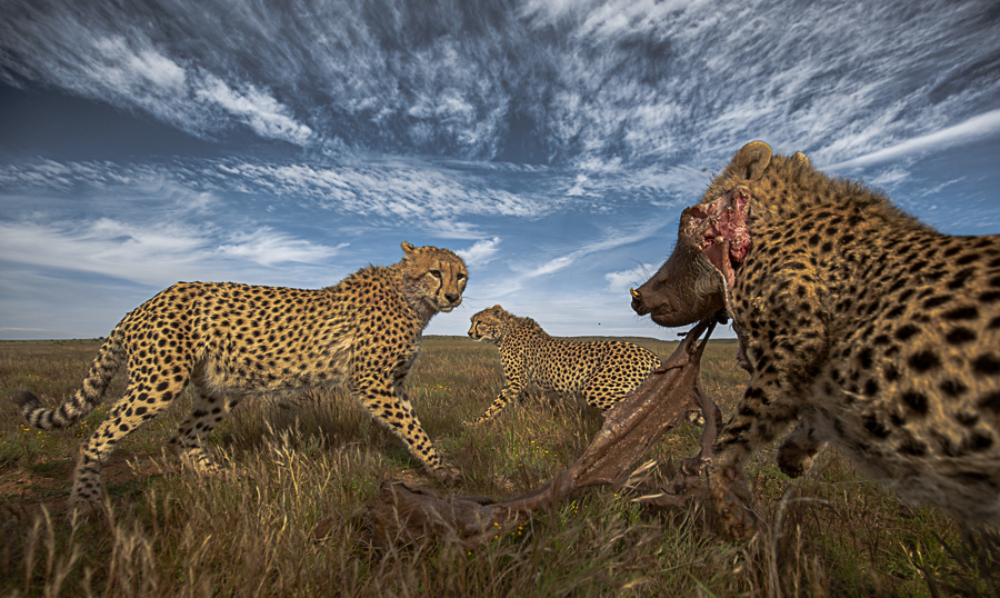 Hunting with the cheetahs
