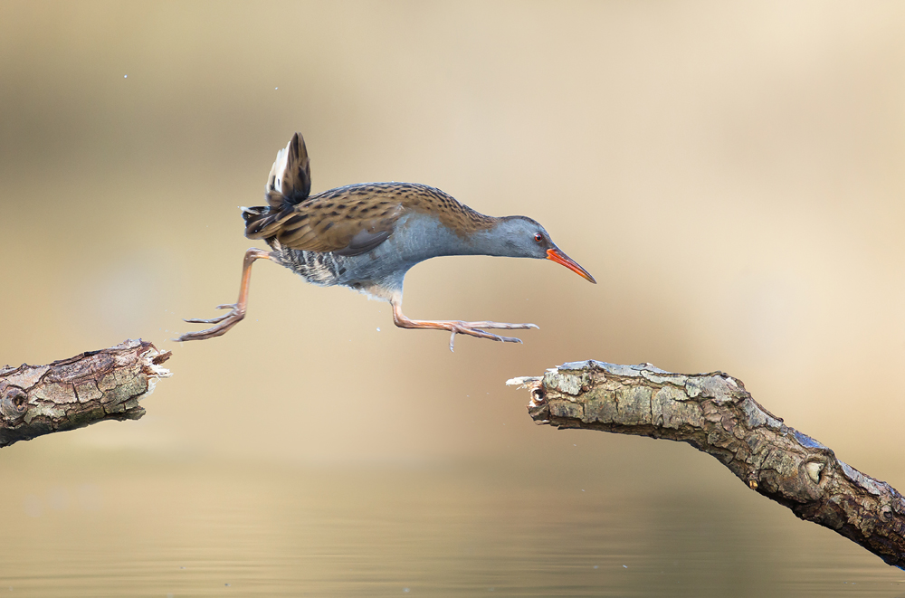 Hasty water rail makes athletic jump.
