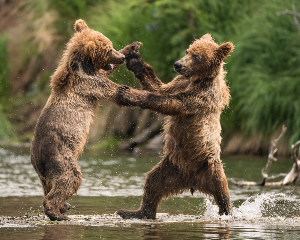 Sparring Cubs