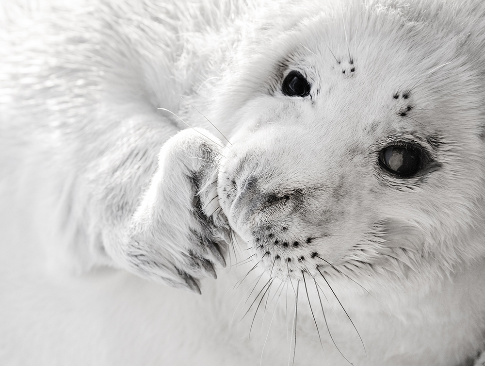 Black and White Grey Seal