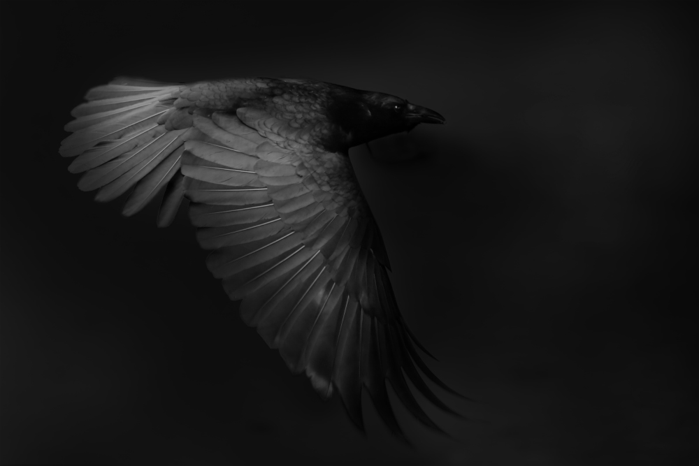 Crow in the dark