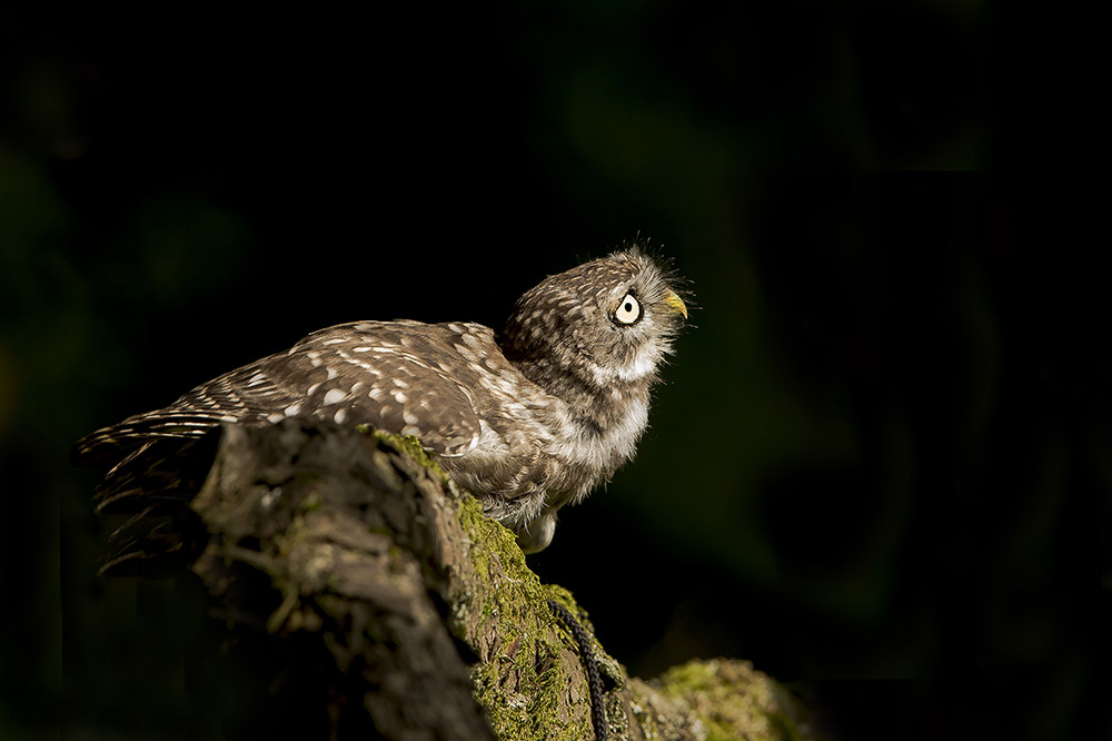 Little Owl (Athene noctua) Cowering as a buzzard flies overhead