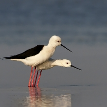 STILT MATING