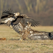 White-tailed Eagles fighting over a dead fox.