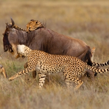 Two Cheetah killing a Wildebeest