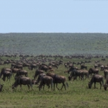 The Tenebo Herd: Life of a Serengeti of Wildebeest