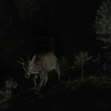 Red deers at night